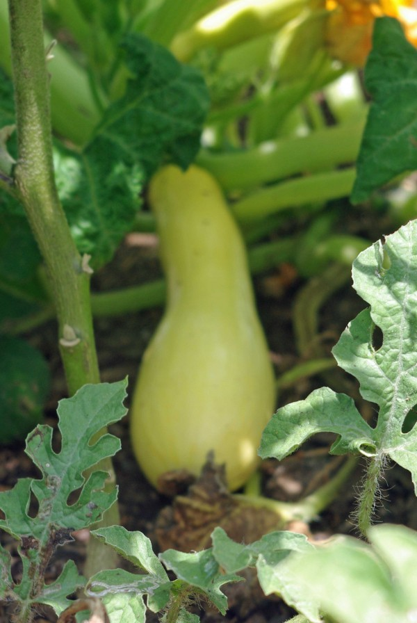 Yellow Straight-Neck Squash