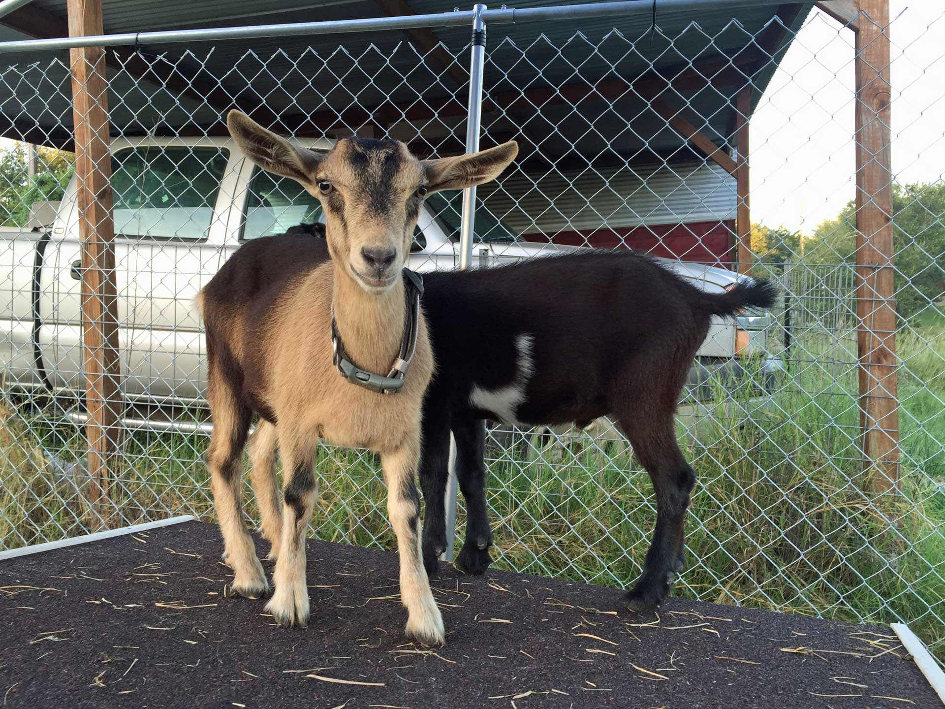 goats-on-house
